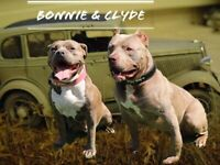 American XL Bully pups for sale ABKC