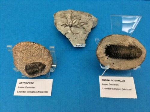 FOSSIL Collection: Crotalocephalus & Astropyge, Trilobites; 1 Crinoid (3 total)
