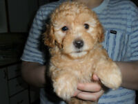 Best for Last!! Yorkie/Poodle Male Puppy