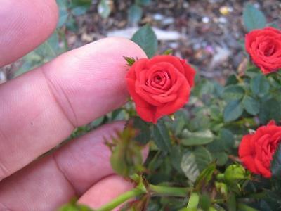 Mini Rose Plant - 1 Gallon -