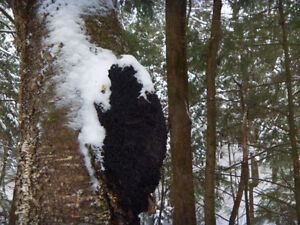 WILD HARVESTED Chaga chunks (or powder) 1 pound NOT cultivated