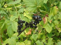 Wanted - blackcurrant pickers