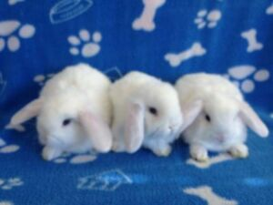 RARE Baby Purebred Blue Eyed White Holland Lop Bunnies