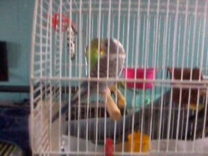 Baby Budgies - Blue, Green, White, Yellow - Near Digby