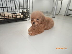petit caniche male  toy rouge