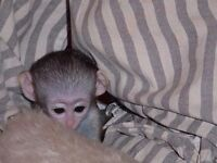 Baby capuchin monkey ready for new home