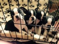 KC Registered Boston Terriers
