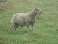 All Breed Registered Sheep and Goat Sale, September 4/5