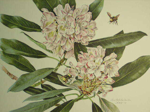 Anne Dowden Great Laurel Flower & Bee Signed Floral Botanical Art Print