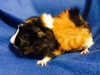 Baby Guinea Pigs - Males