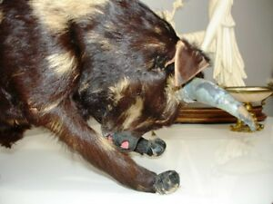 BULL Glass Eyes REAL Fur Leather Gauze Mache WEIRD fun & WHIP Cambridge Kitchener Area image 9