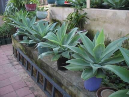 Gorgeous Agave Plants