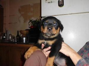 Adorable Rottweiler puppies for sale!!