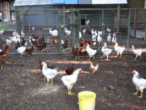 100 Chickens/Laying Hens/Meat Birds For Sale