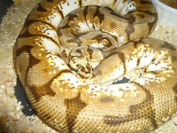 Female Ball Pythons proven Breeders