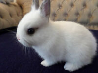 Very cute and adorable baby Dwarf rabbits for $50 each