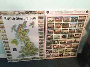 British Sheep Posters Laminated (2)