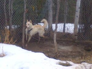 To a good home, 3 Adult Husky Sled Dogs for sale