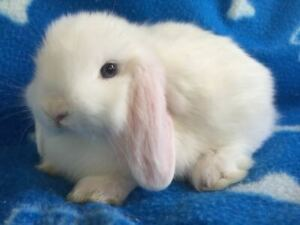 (RARE ) Baby Purebred Blue Eyed White Holland Lops Bunnies