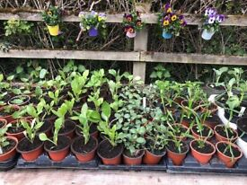 Bedding and Vegetable Plants for Sale