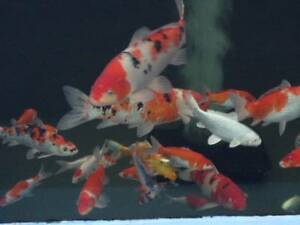 Koi fish sale in new south wales gumtree australia free for Expensive koi fish for sale