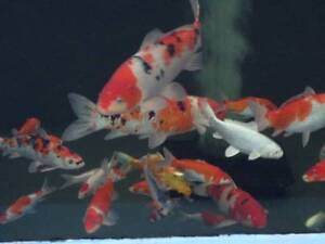 Koi Fish Sale In New South Wales Gumtree Australia Free