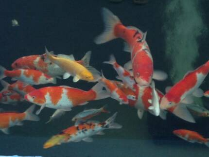 KOI fish - GOLD FISH - SHOW KOI - High Quality Parramatta Parramatta Area Preview