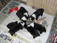 Border Collies Puppies Males