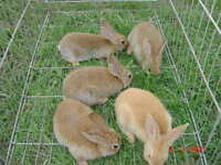 male flemish giants from pedigree parents 9 weeks
