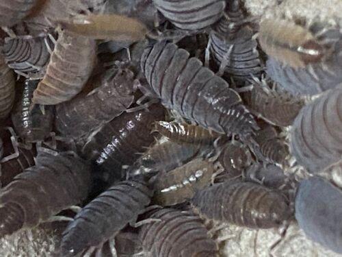 30+ Powder Blue Isopods (Porcellionides pruinosus) Vivarium Clean Up Crew