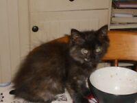 very cute ragdoll/persain girl kitten