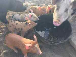 5 piglets, 1 sow and 1 boar for sale
