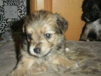 maltesese x yorkshire terrier litter of 5 pups