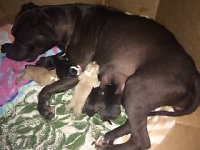 Staffie X puppies for sale Yeppoon Yeppoon Area Preview