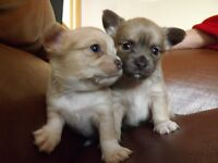 Long hair Chihuahua puppies READY NOW
