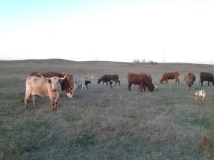 Longhorn Cows with calves for sale