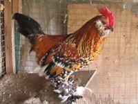 Coqs, poules, poussins