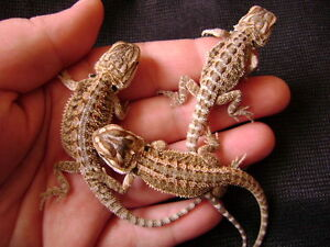 1 pour 50$ 2 pour 90$  bebes dragon barbu /bearded dragon