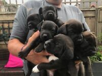 Patterdale Terrier Puppies .........SOLD
