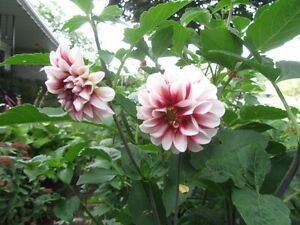 DAHLIA tubers - grow to 3 - 5 feet tall; red/white & red flowers