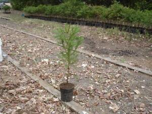 Norway Spruce Seedlings London Ontario image 3