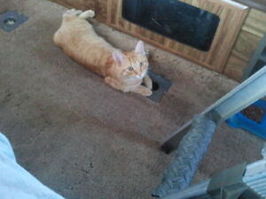 MISSING CAT, MALE  ORANGE &  YELLOW & WHITE