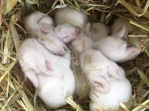 Pure white rabbit for sale Salisbury Salisbury Area Preview