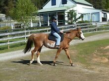 13 Yr old Reg Paint Mare, 15.3 hands Sheffield Kentish Area Preview