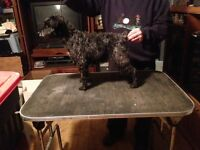Miniature Schnauzer Adult Female