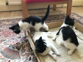 Three Kittens for SALE - 8 WEEKS OLD