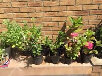 Outdoor plants: Sedum, Hebe red, Skimmia, Euonymus, Hydrangeas. Collect Fulham