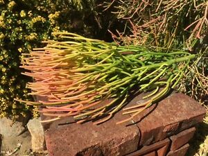 Euphorbia Succulent - Fire Sticks - Cuttings Stirling Stirling Area Preview