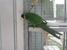 28  parrot Anketell Kwinana Area Preview