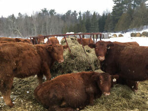 Looking for Bred Heifers - Preferred Red and/or Black Angus